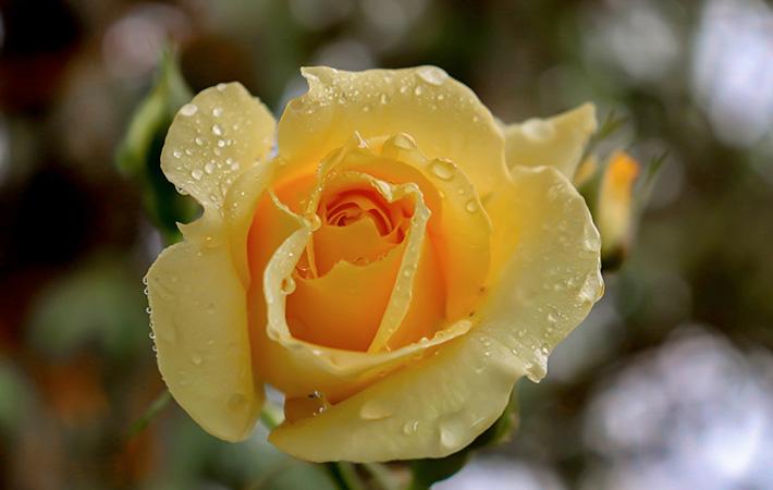 Rose in Crestwood